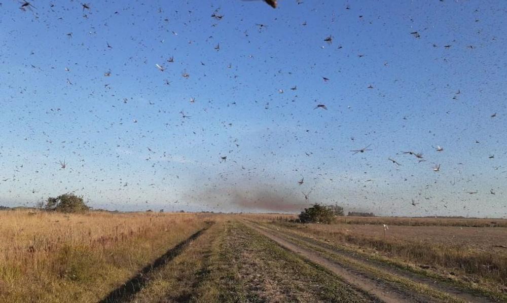 Nuvem de gafanhotos volta a preocupar agricultores brasileiros